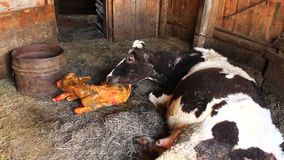 Cow licking clean its just newborn calf stock video footage