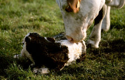 Cow licking her new born calf Stock Photo