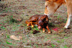 Cow licking new born calf Stock Image