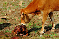 Cow licking new born calf Stock Photos