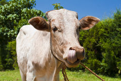 Cow licking nose Stock Photos