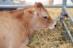 Cow in straw Royalty Free Stock Image