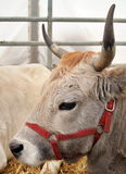 Portrait of Cow in straw Royalty Free Stock Photo