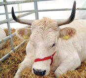 Portrait of Cow in straw Stock Image