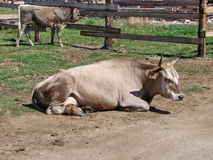 The cow lies on the earth in the shelter Stock Photography