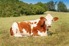 Cow lies on the pasture. stock raising on the farm. Royalty Free Stock Photography