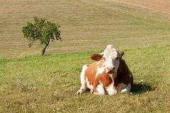Cow lies on the pasture. stock raising on the farm. Royalty Free Stock Images