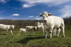 Cow life. Group of cows in the country Royalty Free Stock Photography
