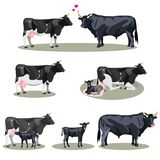 Cow Life with all stages including birth mother and foal colt and adult Royalty Free Stock Images
