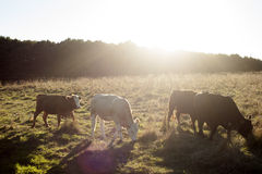 Cow line. Cows eating grass on the sunset is cowboys dream Stock Photos