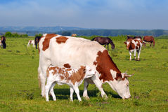 Cow and little calf Stock Photography