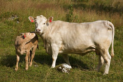Cow with little calf Stock Image