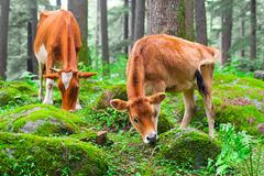 Cow and little calf at grassy meadow in forest Royalty Free Stock Photos