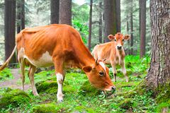 Cow and little calf at grassy meadow in forest Stock Images