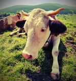 Cow with little horns in mountain with vintage effect Royalty Free Stock Images