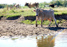 Cow Livestock Stock Images