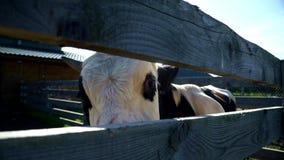Cow on livestock farm. Bull on rural farm. Cattle in a dairy farming stock footage