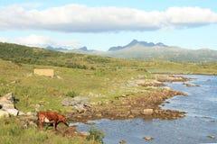 Cow in Lofoten's Fjord Royalty Free Stock Image
