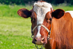 Cow loking at camera Royalty Free Stock Photo