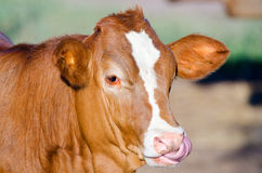 Cow with long tongue Stock Photo