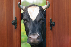 The cow looked at the door Stock Photography