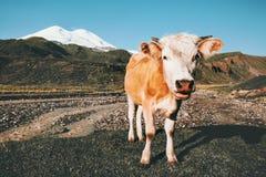 Free Cow Looking At Camera Funny Farm Animal Royalty Free Stock Photo - 86385105