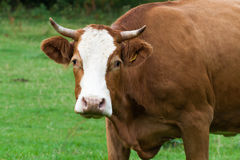 Cow Looking at the Camera Royalty Free Stock Photos