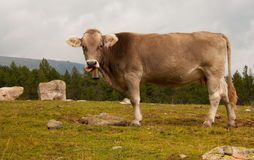Cow looking Stock Photos