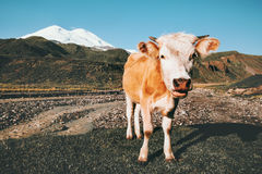 Cow looking at camera funny Farm Animal. Mountains on background summer pasture royalty free stock photo