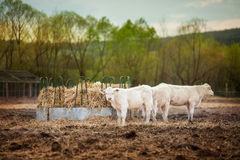 Cow looking into camera at sunset. Herd of young calves eating hay at sunset Royalty Free Stock Photos