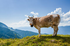 Cow looking at camera in Swiss Alps near Bachsee Royalty Free Stock Image
