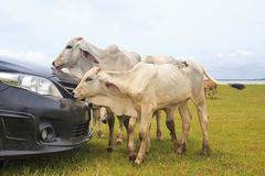 Cow looking in through the car Stock Image