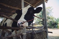 Cow looking through fence. Close up Royalty Free Stock Photography
