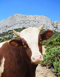 Cow looking Royalty Free Stock Photo
