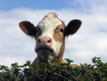 Cow looking over hedge Royalty Free Stock Image