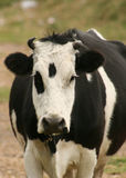 Cow Looking Straight Ahead Stock Images