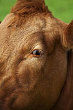 Cow looking straight at me Stock Image