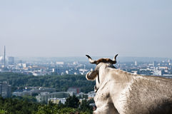 Cow looking to a City Royalty Free Stock Photography