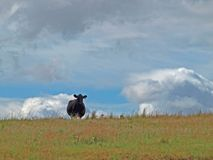 Lone cow looking at me from the hilltopp royalty free stock images
