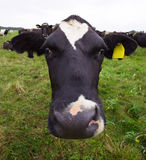Cow looking at you Royalty Free Stock Image