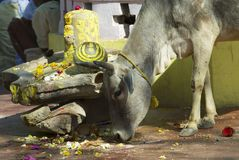 Cow looks for food in downtown Orchha, India. Royalty Free Stock Photos