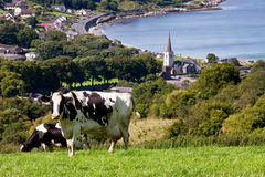 The cow looks - Glenarm. Cow in the field above Glenarm on the Co Antrim coast in Ireland Royalty Free Stock Photo