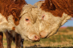 Cow Love Stock Images