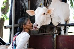 COW LOVINGLY KISSING A WOMAN. Animal lovingly kissing her owner a woman from a cow shade Stock Images