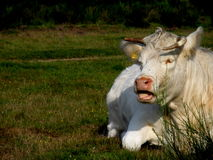 Cow lowing. White cow lying in a green meadow with it's mouth open while mooing Stock Images