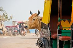 Cow lurking behind a Tuk-Tuk in India royalty free stock images