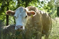 Cow in lush green nature with trees stock images