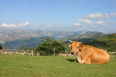 Cow lying down Royalty Free Stock Photos