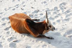 Cow lying down on beach in India stock images