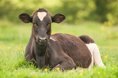 Cow lying down in a field Stock Image